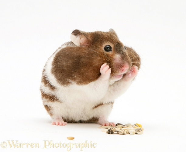 Hamster with cheek pouches stuffed full of food, white background