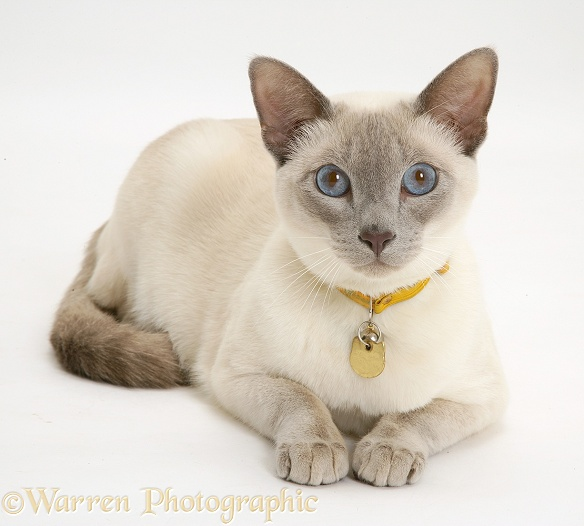 Siamese-cross cat, Isaac, lying head up, white background