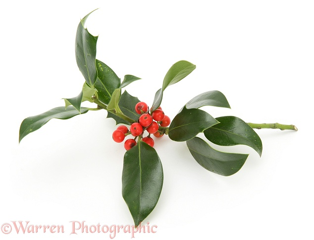 Sprig of Holly with berries, white background