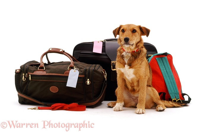 Lakeland Terrier x Border Collie bitch, Bess, waiting hopefully beside some holiday luggage, white background