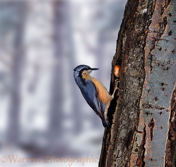 Nuthatch (Sitta europaea) breaking open a hazel nut wedged in tree bark.  Europe & Asia