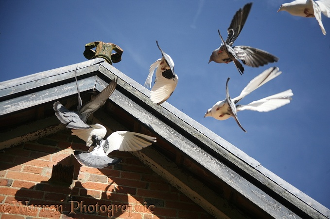 Street Pigeon (Columba livia) flock returning to roost in the roof of an outhouse.  Worldwide
