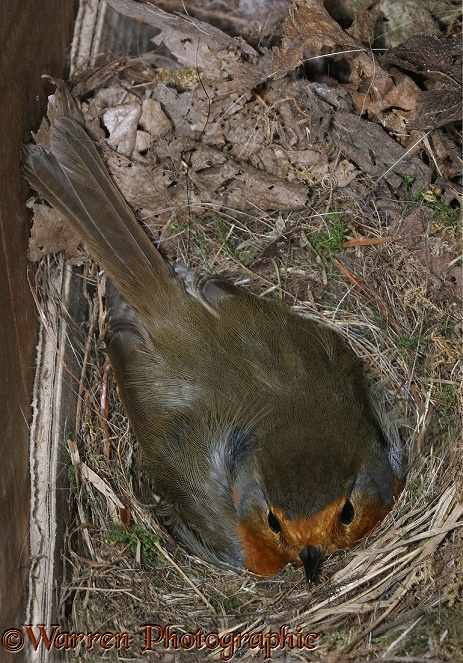European Robin (Erithacus rubecula) incubating on nest in an old cardboard box.  Europe