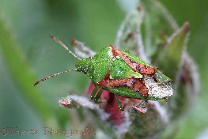 Juniper Shield Bug (Cyphostethus tristriatus) after emergence in early spring.  Europe
