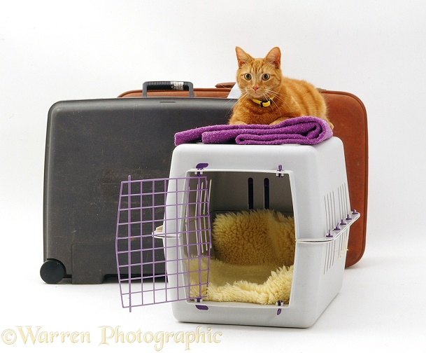 Travelling marmalade cat Tigger with pet transporter and suitcases, white background