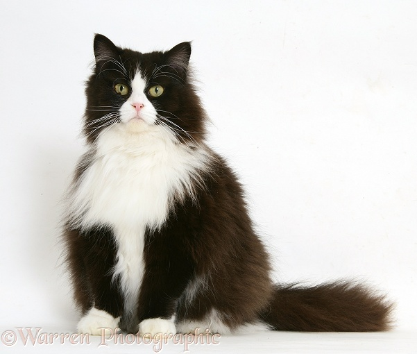Black-and-white Persian-cross cat, Flora, 6 years old, grown rather stout, white background