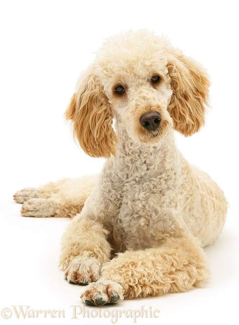 Miniature Apricot Poodle, Murphy, white background