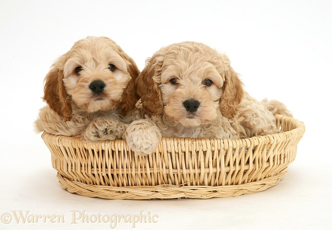 American Cockapoo puppies in a basket, white background