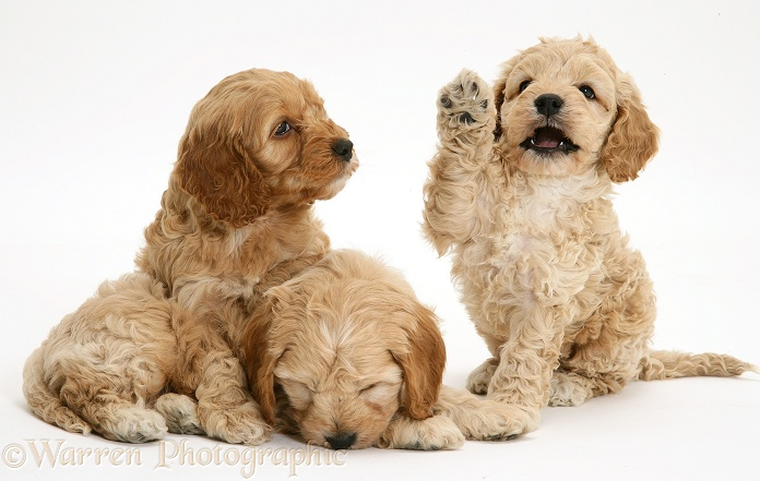 American Cockapoo puppies, white background