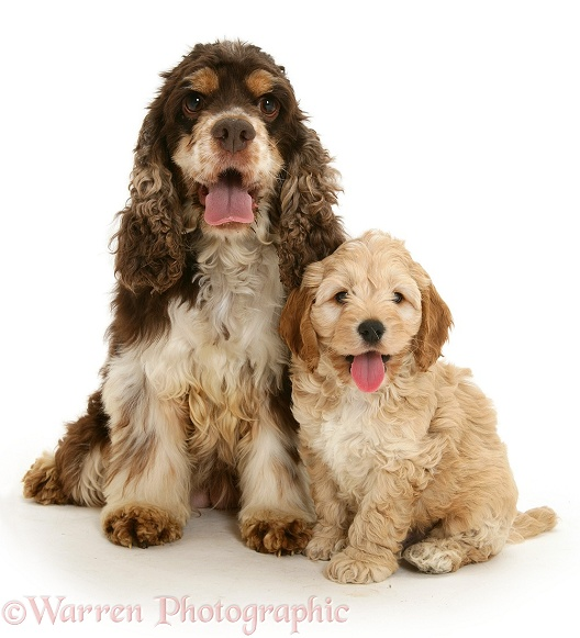 American Cocker Spaniel mother with Cockapoo puppy, white background