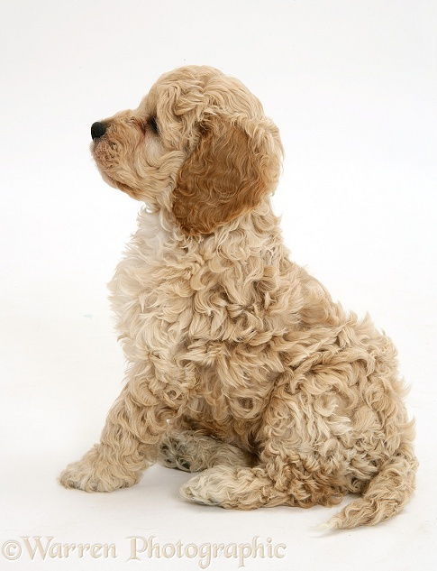 American Cockapoo puppy, white background
