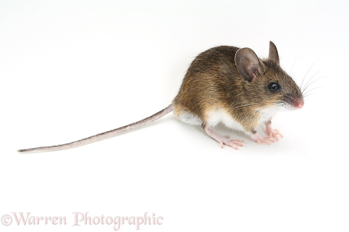 Long-tailed Field Mouse (Apodemus sylvaticus).  Europe & Asia, white background