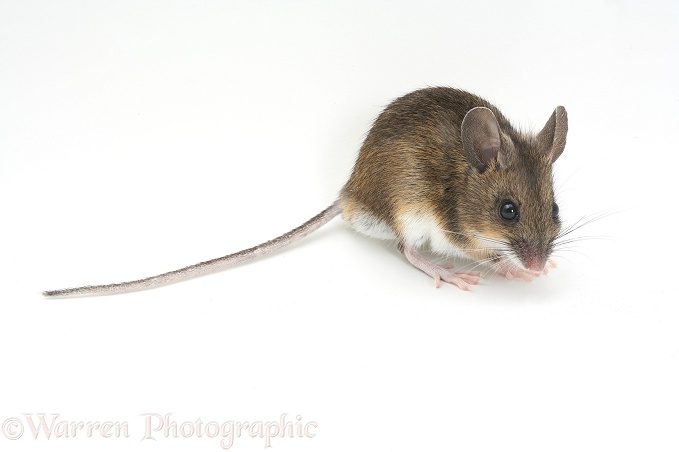 long tailed field mouse photo   wp15035