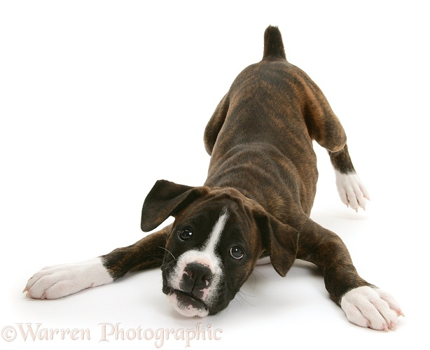 Brindle Boxer pup, Lily, 9 weeks old, in play-bow, white background