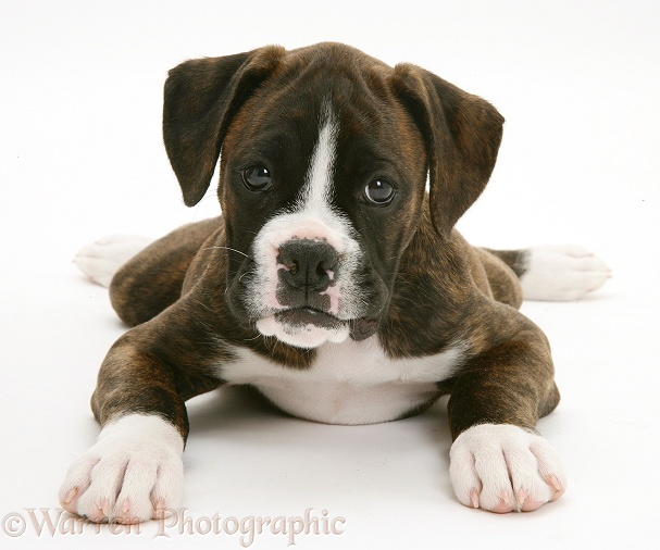 Brindle Boxer pup, Lily, 9 weeks old, white background