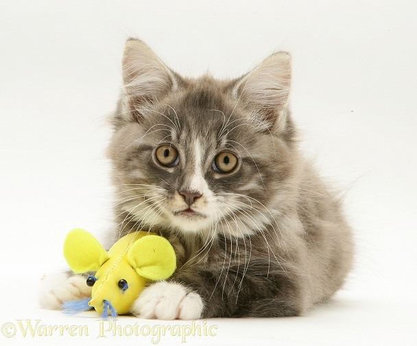 Grey tabby Maine Coon kitten with a catnip mouse toy, white background