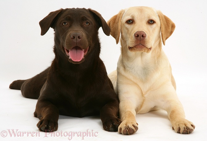 Young yellow Labrador Retriever, Millie, and chocolate Labrador Retriever, Mocha, 7 months old, white background