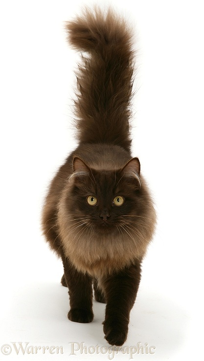 Chocolate Birman-cross cat, white background