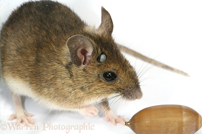 Long-tailed Field Mouse (Apodemus sylvaticus) carrying an engorged tick (Ixodes species) on its head.  Europe & Asia, white background