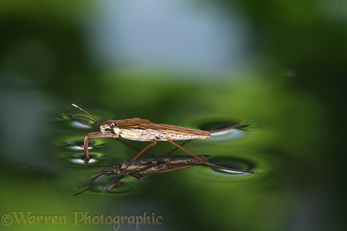 Pond Skater (Gerris lacustris).  Europe