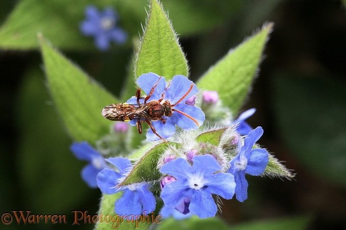 Cuckoo Bee (Nomada fulvicornis) feeding on Green Alkanet (Pentaglottis sempervirens).  Europe