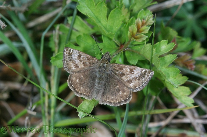 Dingy Skipper (Erynnis tages) basking.  Europe