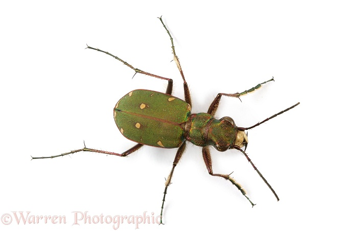 Green Tiger Beetle (Cicindela campestris).  Europe, white background