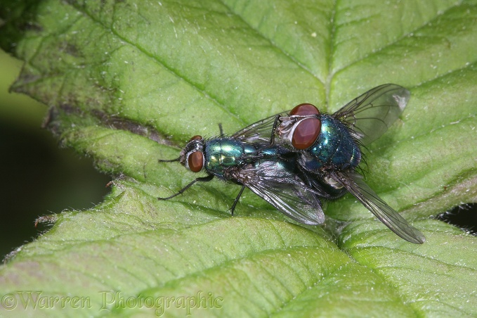 Greenbottle Flies mating
