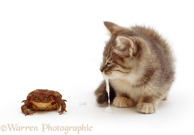 Blue tabby kitten salivating profusely after tasting bitter secretion from a toad's back, white background
