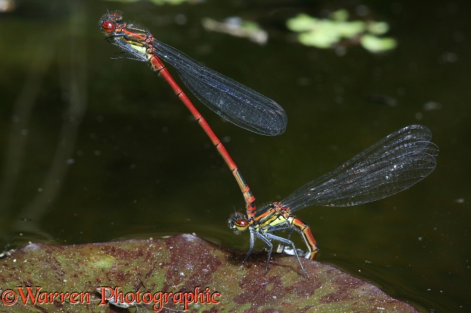 Large Red Damselfly (Pyrrhosoma nymphula) pair in tandem while female lays eggs beneath a lily leaf.  Europe