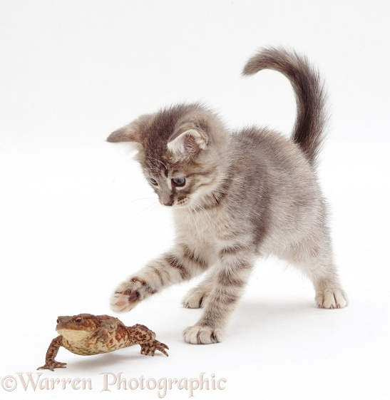 Blue tabby kitten playing with a toad, white background
