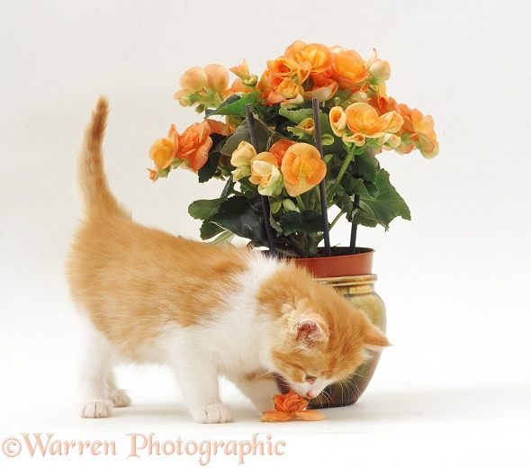 Ginger-and-white kitten about to eat a fallen begonia flower, white background
