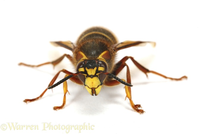 Median Wasp (Dolichovespula media) queen.  Europe, white background