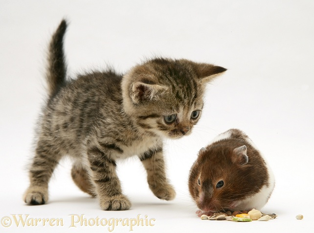 Brown spotted British Shorthair tabby kitten watching a hamster, Tibbles, fill his pouches, white background