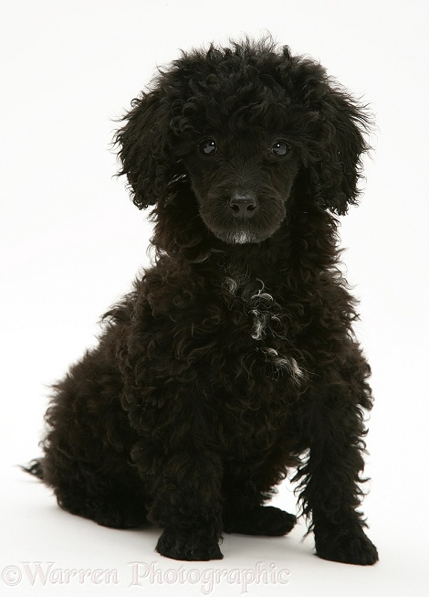 Black Miniature Poodle, white background