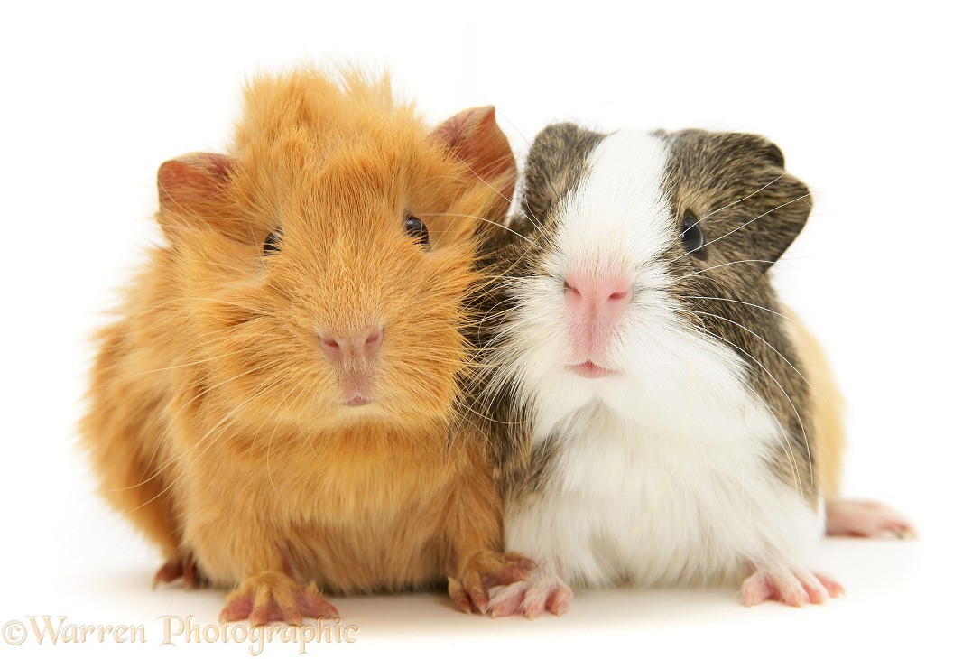 Pair of young Guinea pigs, red Abyssinian and agouti-and-white smooth haired, white background