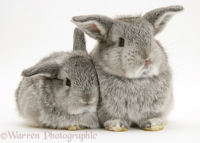 Baby silver Lop rabbits, white background
