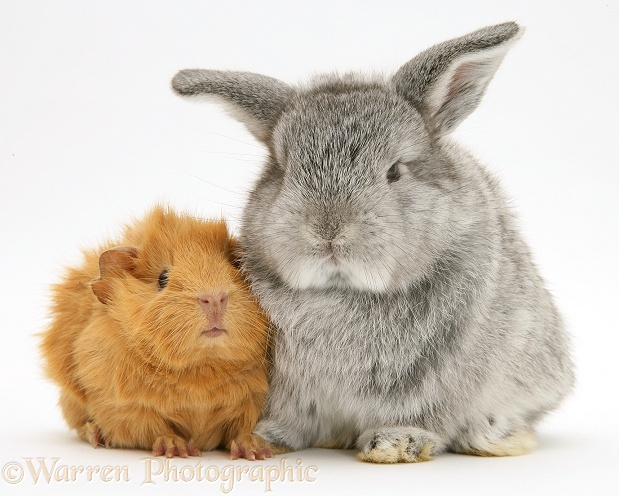 Young red Abyssinian Guinea pig with baby silver Lop rabbit, white background
