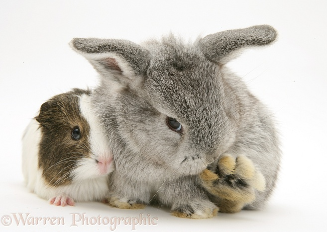 Baby silver Lop rabbit with agouti-and-white Guinea pig, white background