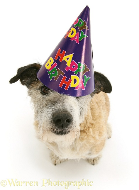 Patterdale x Jack Russell Terrier dog, Jorge, wearing a Happy Birthday hat, white background