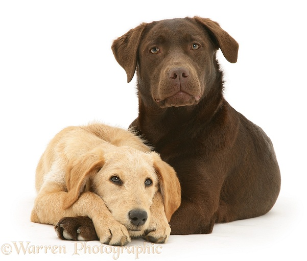 Dogs: Yellow Labradoodle pup and Chocolate Labrador photo ...