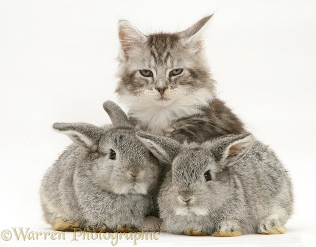 Baby silver Lop rabbits with silver tabby Maine Coon kitten, white background