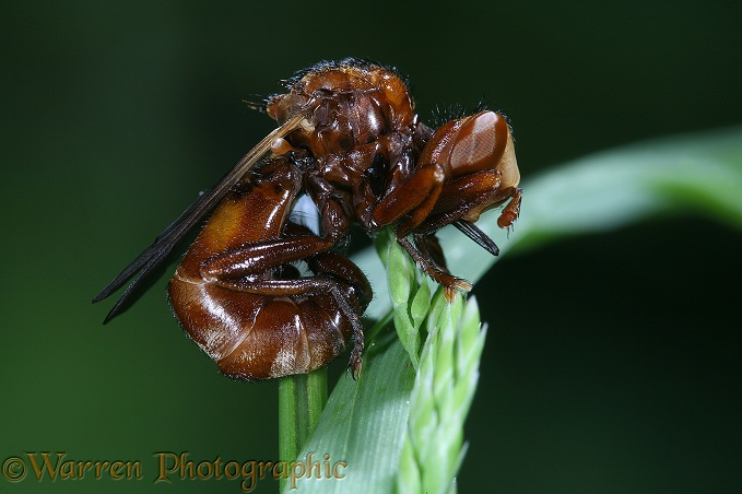 Thick-headed Fly (Sicus ferrugineus) male roosting on a grass head