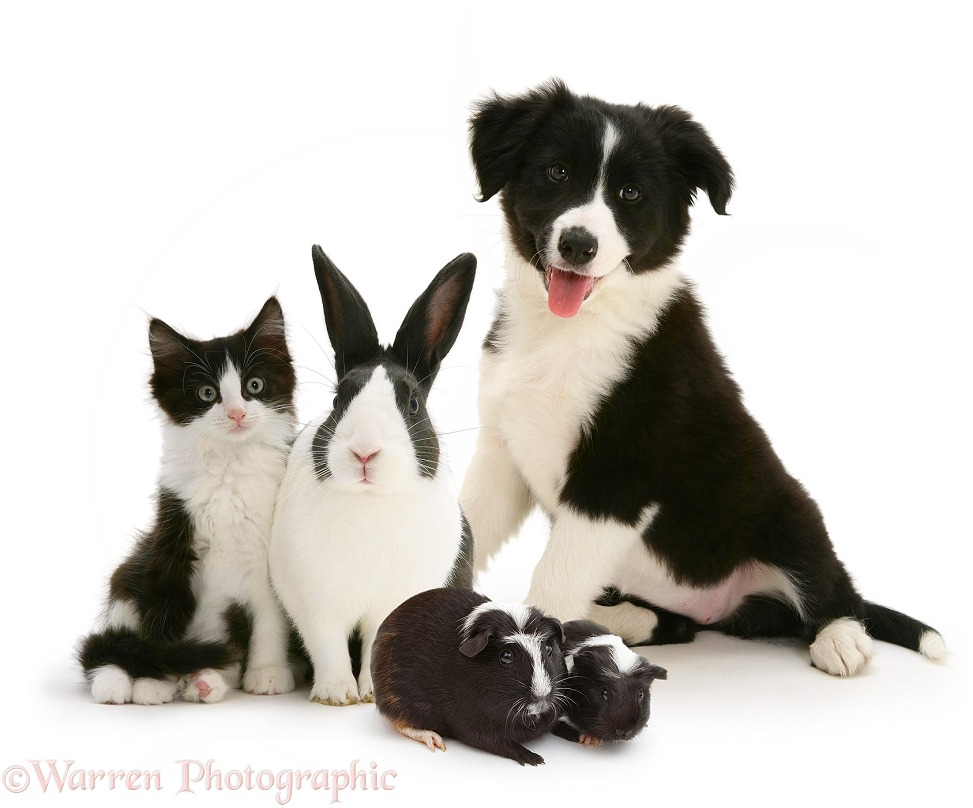 Black-and-white kitten, Dutch rabbit, Guinea pigs and Border Collie puppy, white background