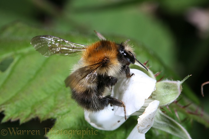 Common Carder Bee (Bombus pascuorum) about to take off from loganberry flower