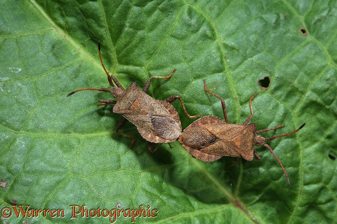 Dock Squash Bug (Coreus marginatus) mating pair on dock leaf