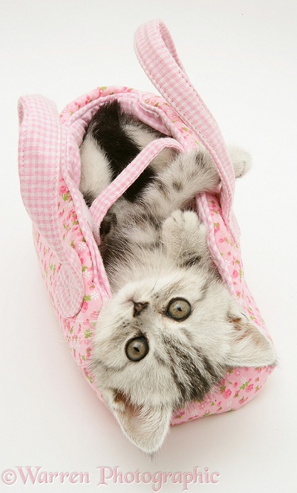 Silver tabby kitten in a child's pink cloth bag, white background