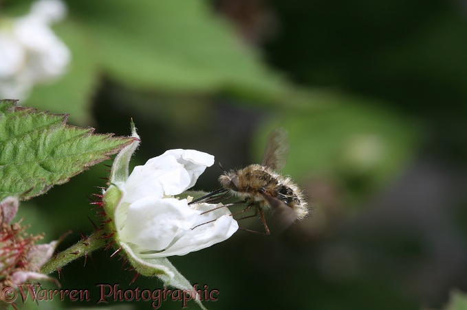 Bee fly (Bombylius species) on loganberry flower - aging specimen showing hair loss
