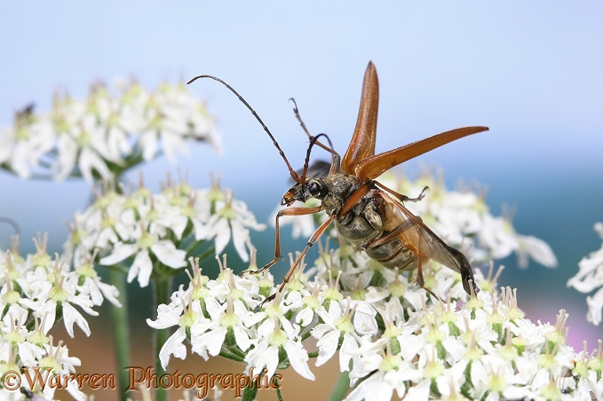 Longhorn Beetle (Stenocorus meridianus) gravid female taking off from Hogweed (Heracleum sphondylium)