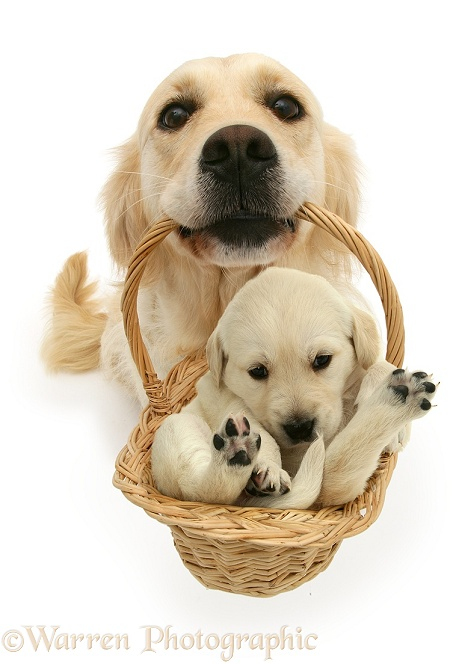 Golden Retriever bitch Lola with a puppy in a basket, white background